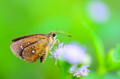 Chestnut Bob or lambrix salsala close up butterfly Royalty Free Stock Photo