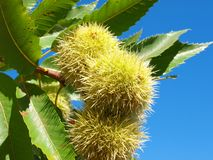 Chestnut branch Royalty Free Stock Image