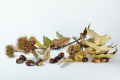 Chestnut branch with autumn leaves Stock Photos