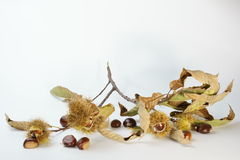 Chestnut branch with autumn leaves Stock Images