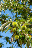Chestnut branch with closed burr Stock Photo