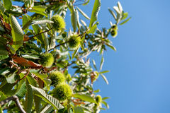 Chestnut branch with closed burr Stock Images
