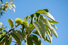 Chestnut branch with closed burr Royalty Free Stock Images