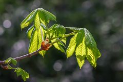 Chestnut branch with young leaves in springtime sun on dark blur. Chestnut branch with sun rays backlighting the leaves on a springtime day on a blurred dark Stock Photo