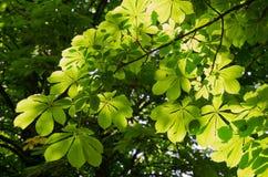 Chestnut branch in sunlight Stock Photography