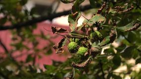 Chestnut on the branch. View from below of part of a chestnut tree branch stock footage