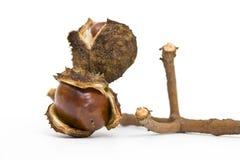 Chestnut on a branch Stock Photos