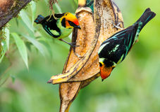 Chestnut Breasted Chlorophonia Pair Royalty Free Stock Photography