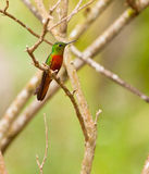 Chestnut-breasted Coronet Royalty Free Stock Photography