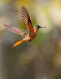 Chestnut-breasted Coronet in flight Stock Image