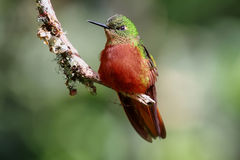 Chestnut-breasted Coronet hummingbird Stock Images
