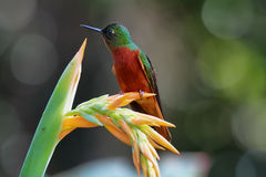 Chestnut-breasted Coronet hummingbird Royalty Free Stock Image