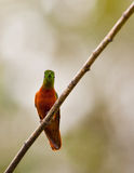 Chestnut-breasted Coronet on twig Stock Image