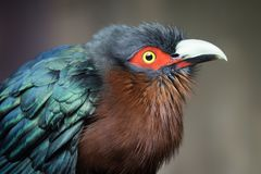 Chestnut-breasted Malkoha Bird With Fluffed Up Feathers. A captive Chestnut-breasted Malkoha at a zoo in Texas. Members of the cuckoo family, these birds are royalty free stock image