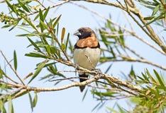 Chestnut-breasted Mannikin, Australia. A Chestnut-breasted Mannikin perching in a tree, Queensland,  Australia Royalty Free Stock Photo