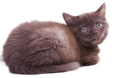 Chestnut British kitten Stock Photo