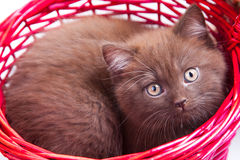 Chestnut British kitten in red basket Stock Photos