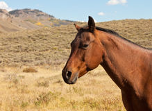 Chestnut Brown Horse Royalty Free Stock Images