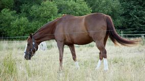 Chestnut or brown horse with long mane grazing on a field near forest stock video