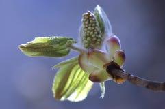 Chestnut bud Royalty Free Stock Photo