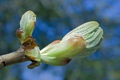 Chestnut bud Stock Photography