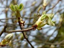 Chestnut Bud, Aesculus hippocastanum Stock Image