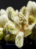 Chestnut bud, flower and small leaves with fine details isolated Stock Photos