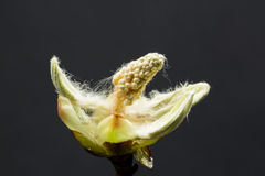 Chestnut bud, flower and small leaves with fine details isolated Royalty Free Stock Images