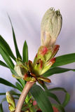 Chestnut bud. Is opening up Stock Images