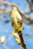 Chestnut bud Royalty Free Stock Images