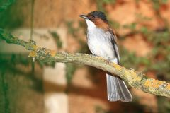 Chestnut bulbul. Sitting on the branch royalty free stock image