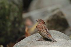 Chestnut Bunting Stock Photos
