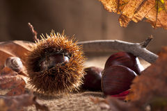 Chestnut with Bur Stock Photography