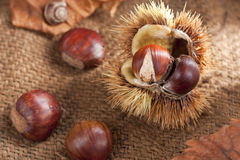 Chestnut with Bur Stock Images