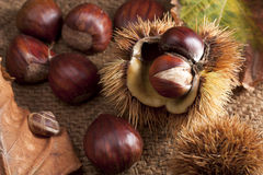 Chestnut with Bur Royalty Free Stock Image