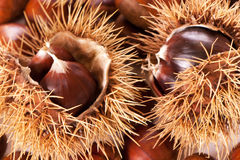 Chestnut burs. Isolated on a white background Stock Images