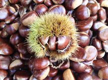 Chestnut burs. Arrange in a plate royalty free stock image