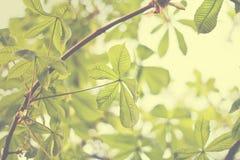 Chestnut canopy Stock Image