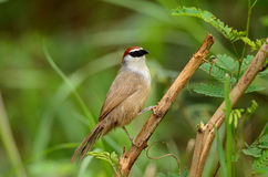 Chestnut-capped babbler Stock Photos