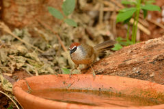 Chestnut-capped Babbler (Timalia pileata) Stock Images