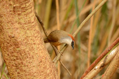 Chestnut-capped Babbler (Timalia pileata) Royalty Free Stock Photography