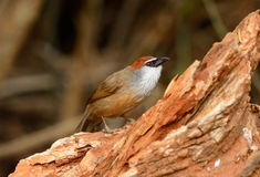 Chestnut-capped Babbler (Timalia pileata) Royalty Free Stock Photo