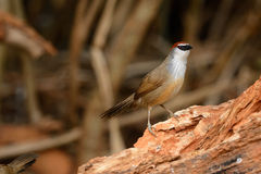 Chestnut-capped Babbler (Timalia pileata) Stock Photo
