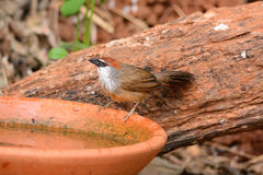 Chestnut-capped Babbler (Timalia pileata) Royalty Free Stock Images