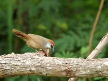 Chestnut-capped Babbler : timalia pileata Royalty Free Stock Photo