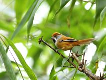 Chestnut-capped Babbler : timalia pileata Royalty Free Stock Photography