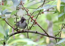 Chestnut-capped Babbler : timalia pileata Stock Images