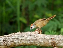Chestnut-capped Babbler : timalia pileata Royalty Free Stock Image