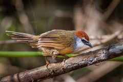 Chestnut-capped Babbler Stock Image