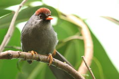 Chestnut-capped Laughingthrush Royalty Free Stock Image